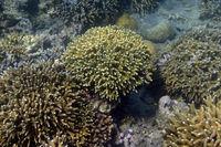 große Stöcke von Steinkorallen, Seriatopora spec. im Korallenrif