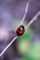 A ladybird climbing up along a stalk