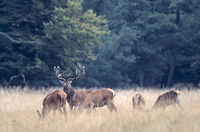 Red Deer stag, hinds and calfs