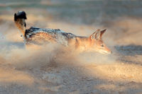 Black-backed Jackal in dust