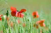 Poppies/Klatschmohn