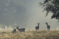 Red Deer hinds in morning fog on a forest meadow