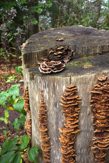 Bracket fungi on a tree stump