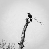 A crow on a dead tree
