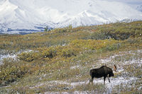 Bull Moose in front of the snowy Alaska-Range