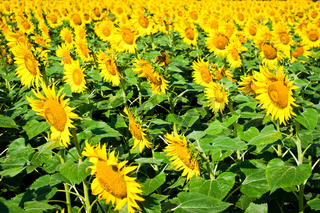 Sunflower field. India, Thamil Nadu