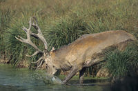 Red Deer stag taking a bath in the rut