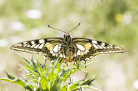 Papilio machaon, European Swallowtail from Germany