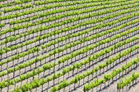 Beautiful Wine Grape Vineyard
