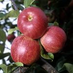 Arlet; Apfel;