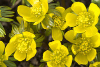 Yellow winter aconite (eranthis hyemalis)
