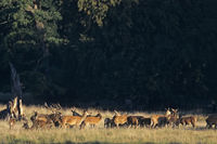 Red Deer herd standing in a forest meadow