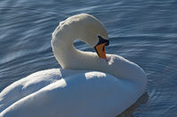 Swan on blue water in sunshine