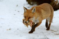 red fox with chicklets