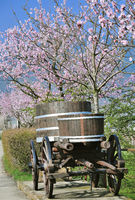 Almond Blossom,Palatinate,Germany