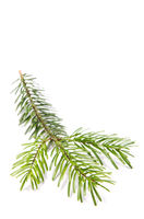Fir branch in front of white background