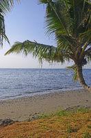 Kokospalmen (Cocos nucifera), am schwarzen Lavastrand von Lovina