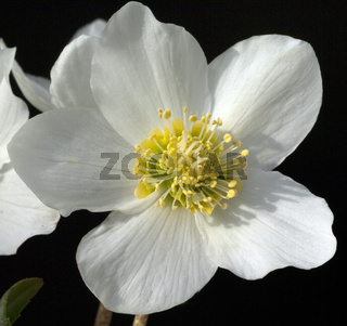 Christrose, Helleborus, niger,