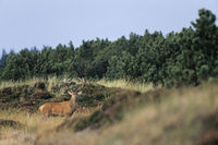 Red Deer hart in dune looking alert