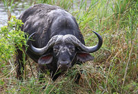 African buffalo, Kruger National Park