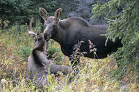 Young bull Moose and calf in the taiga