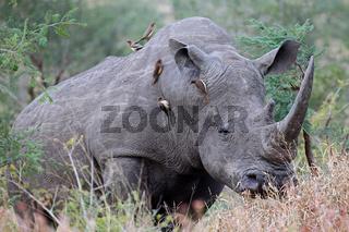 Breitmaulnashorn im Kruger Nationalpark, Südafrika, Breitlippennashorn, white rhinoceros, Ceratotherium simum