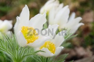 Kuechenschelle weiss - pasque flower white 01