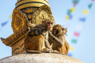 Two macaques on top of chorten