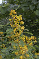 Senna marilandica, Cassia marilandica), Senna