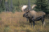 Bull Moose stands alert looking in the taiga