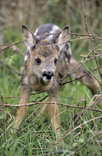 Rehkitz steht auf wackeligen Laeufen - (Reh - Rehwild) / Roe Deer fawn standing on shaky legs / Capreolus capreolus