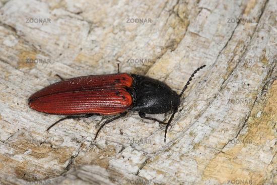 Cardinal click beetle