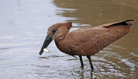 Hamerkop catching a fish, South Africa