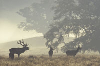 Roaring Red Deer stag, hinds and calf