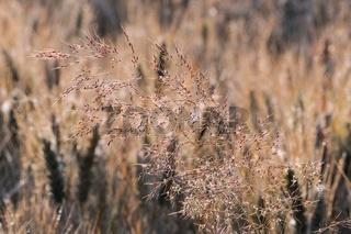 Rispengras und Getreide im Hintergrund