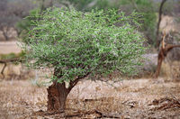 camel thorn, Acacia erioloba, Kruger National Park