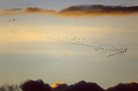Sandhill Cranes migrate in fall to the south