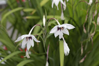 Gladiolus callicanthus, Abyssinian gladiolus