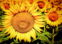 Sunflower field. Floral background