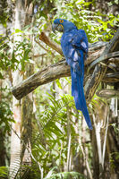 The Endangered Hyacinth Macaw of South America