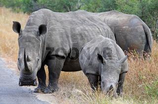 Breitmaulnashörner im Kruger Nationalpark, Südafrika, Breitlippennashörner, white rhinoceroses, Ceratotherium simum