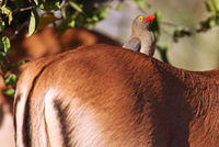 Red-billed oxpecker on an Impala, South Africa
