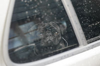 Black pug in car