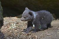 Europäischer Braunbär (Ursus arctos), Jungtier, 3 Monate, captiv