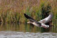 geyleg goose in flight