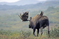 Bull Moose with velvet antler in the tundra