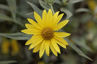 Helianthus nuttallii, Nuttalls Sunflower