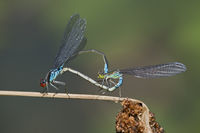 Mating wheel of Small Red-eyed damselflies