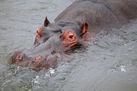 Hippo at Kruger National Park, South Africa