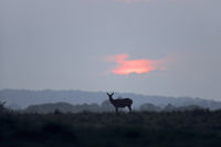 Red Deer hind in front of evening sky